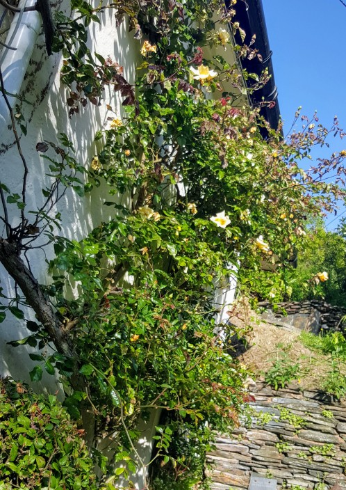 Climbing yellow rose